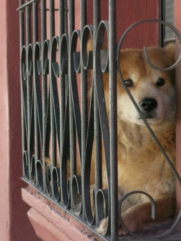 Dog in window in Antigua