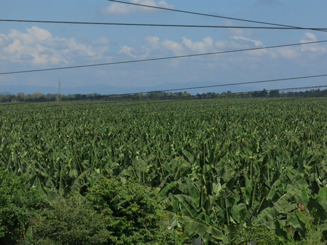 Very large banana plantation in Honduras