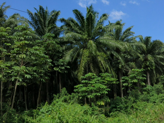 Palm plantation in Honduras