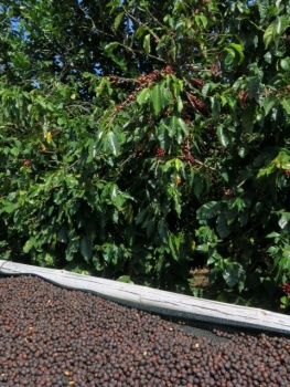 Coffee beans on the bush and drying