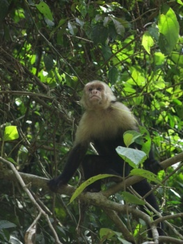 White face monkey