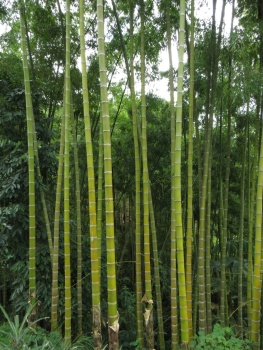 Stand of bamboo at Plantation House