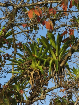 Bromeliads growing on the tree branches