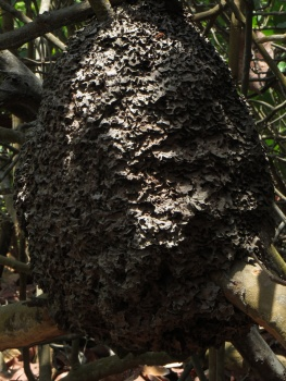 Termite nest in Tayrona