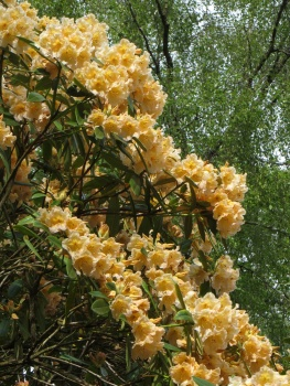 Apricot coloured rhododendrons