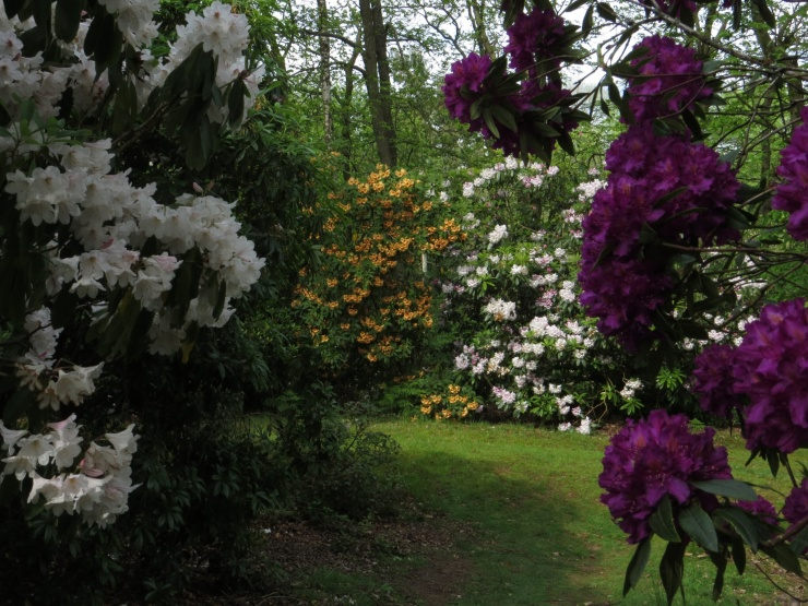Lots of rhododendrons