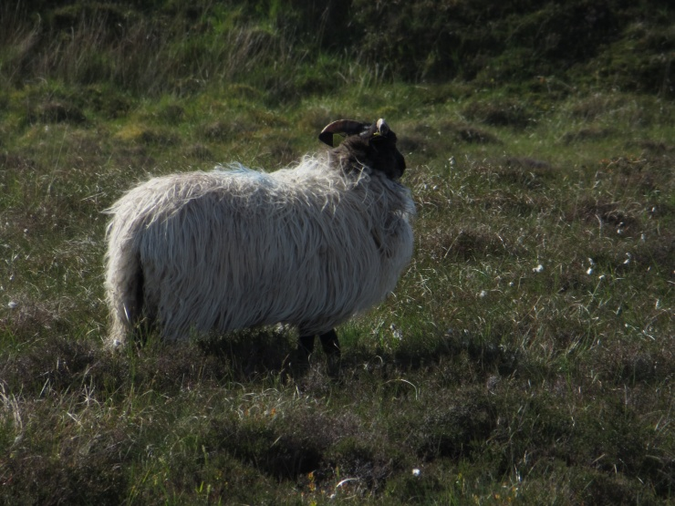 Shaggy mountain sheep