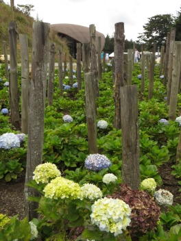 Hydrangeas in the park at Arvi