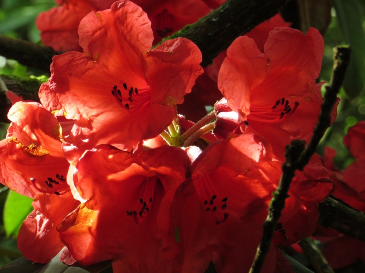 Rhododendron in the sun