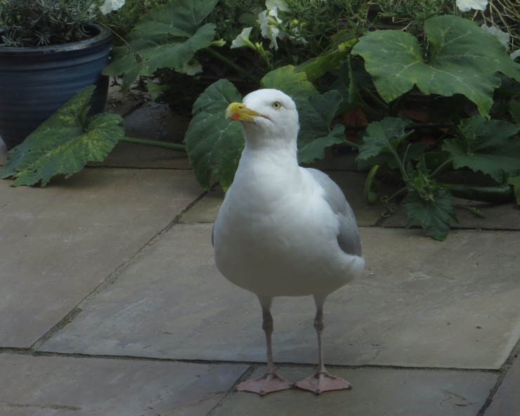 George, the tame seagull, waiting to be fed