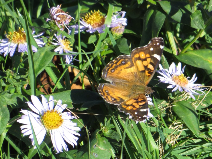 Butterfly on some Michaelmas daisies
