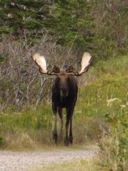 Face to face with a moose