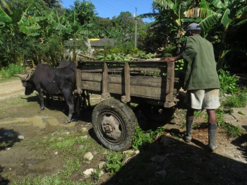 Ox cart delivering bananas