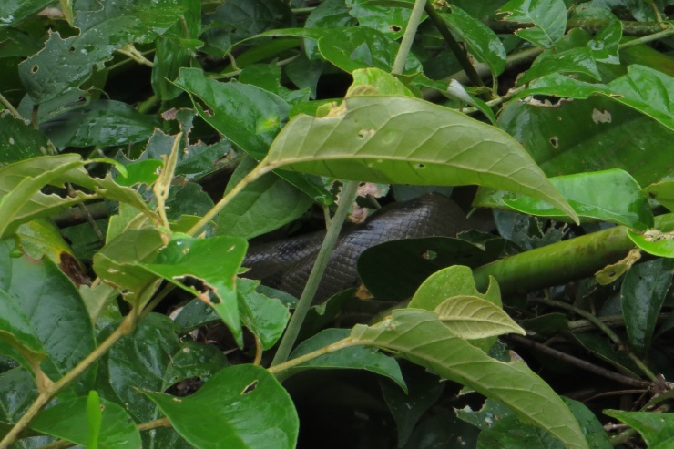A couple of anacondas lurking in the bushes