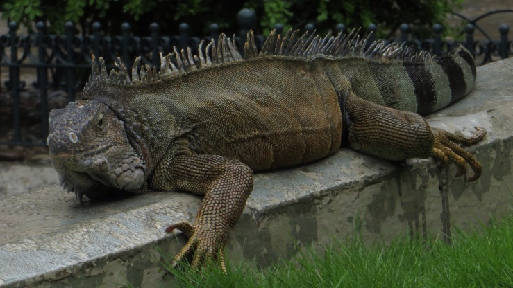 Land iguana in the park
