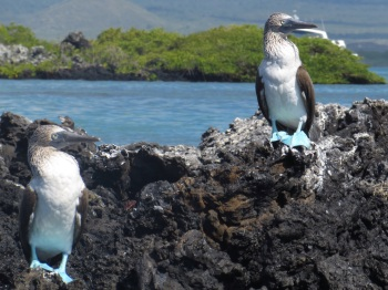 More blue footed boobies