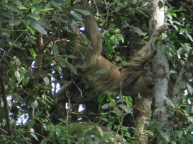 A two toed sloth