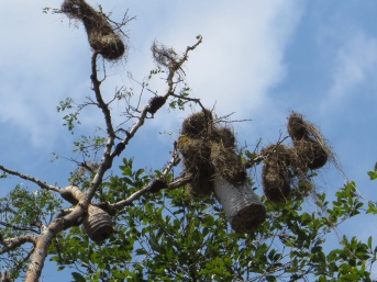 Wasps and weaver birds living side by side