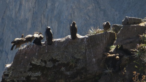 Bad picture of condors on a rock ledge