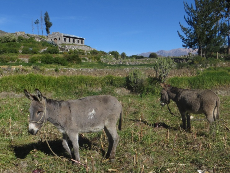 Pack donkeys in Cabanaconde