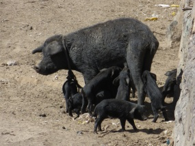 Free range pig and piglets