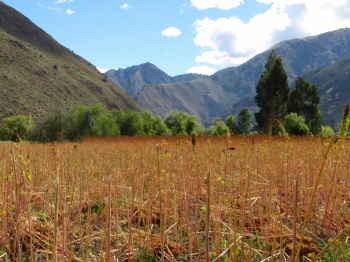 Quinoa growing in the Sacred Valley