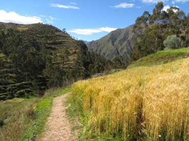 Wheat growing on one of the terraces