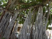 100 year old ficus trees outside Iolani Palace