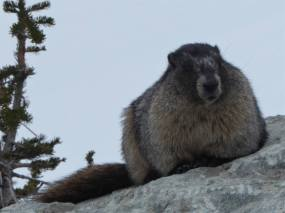 A marmot posing for the camera on Blackcomb
