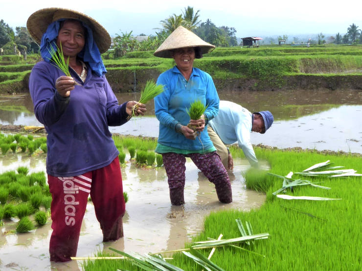 Rice planting at Bali Silent Retreat