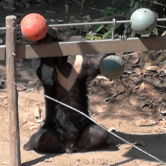 Moon bear showing his marking