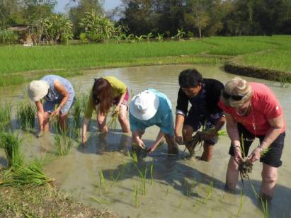 Planting rice is a group activity