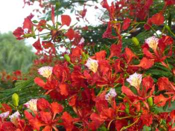Flowers of the flame tree