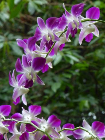 Orchid in Fort Canning Park