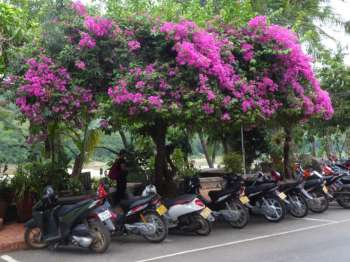Purple bougainvillea